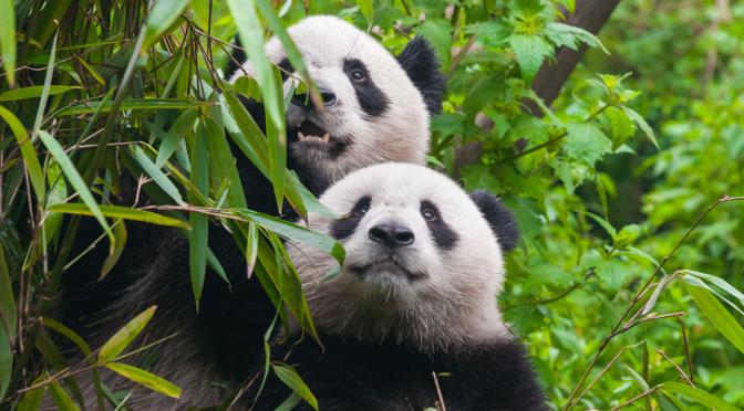 Save Pandas, Make Your Own Porn!